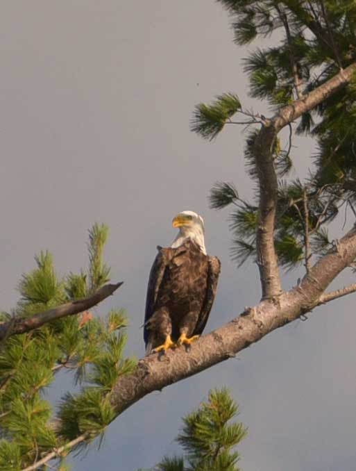 Eagle nest near McReary Beach resort