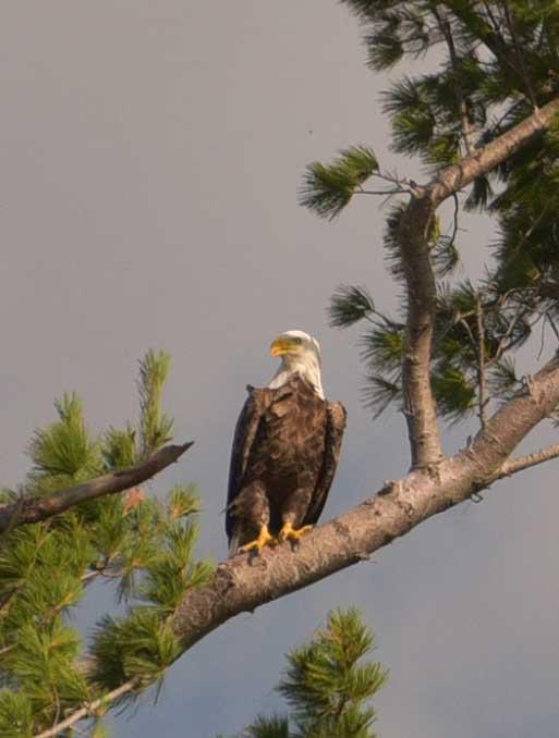 Eagle nest near McReary Beach resort